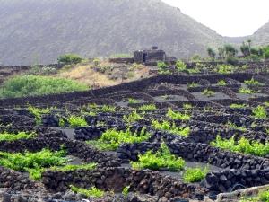 Coltivazione della vite a Lanzarote, Isole Canarie