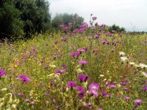 Fiori di maggio a Cefalonia