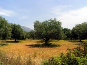 Ulivi - maggio a Cefalonia