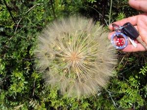 Soffione gigante - Maggio a Cefalonia